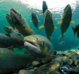Highly-motivated Atlantic salmon