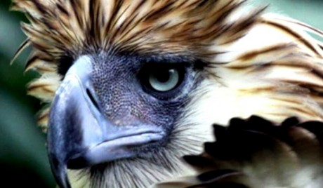 philippine_eagle_pamana