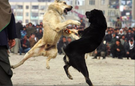 dog-fight
